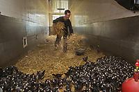 Europe/France/Bretagne/35/Ille et Vilaine/Louvigné-de-Bais : Paul Renault et son fils Olivier éleveurs de poules:  Coucou de Rennes - Ferme de l'Entillère - Olivier  Renault change la paille  et nourrit  Les poussins avec des céréales produites sur la ferme<br /> Auto N°: A12-3011, A12-3012