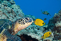 This endemic milletseed butterflyfish, Chaetodon miliaris, appears to be kissing this green sea turtle, Chelonia mydas, endangered species, Maui, Hawaii, USA, Pacific Ocean (dc)