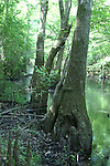 Tupelo trees growing in wet areas develop buttressed bases for additional stability in solft soil.