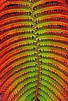 Hawaiian fern, (sadleria cyatheoides). These low tree ferns with large fronds are found in rain forests and on lava flows of Hawaiian Islands.