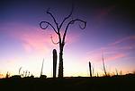 Boojum tree at sunset, Catavina Desert, Baja California, Mexico