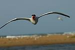 .Sterne royale en vol au dessus de l'île aux oiseaux.Sénégal. Delta du Saloum