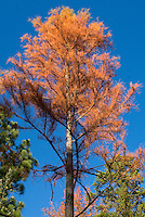 Taxodium ascendens Pond-Cypress tree in autumn fall foliage wwith blue sky