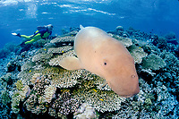 female diver and dugong or sea cow, Dugong dugon, Indonesia, Pacific Ocean (dc)