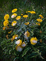 Flowering dandelion in Midwest fescue yard after being sprayed with foaming weed killer.