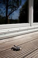 Kleiber ist an Fensterscheibe, Fenster geflogen und tödlich verletzt, Fenstertod, Fensteranflug, Scheibenanflug, Sitta europaea, Eurasian nuthatch
