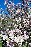 Germany, Baden-Wuerttemberg, Baden-Baden: Magnolia, named after French botanist Pierre Magnol | Deutschland, Baden-Wuerttemberg, Baden-Baden: Magnolie (Magnolia) aus der Familie der Magnoliengewaechse (Magnoliaceae), benannt nach dem französischen Botaniker Pierre Magnol
