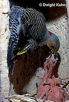 FK12-014z  Common Flicker - male feeding one day old young in nest cavity of dead tree - Colaptes auratus
