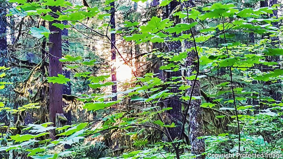 Forest, light, Cascade Mountains, evening, Oregon, Mt. Hood, Mt. Hood National Forest, Camp Creek, U.S. 26, Government Camp, vine maple, big leaf maple, fir, cedar, hemlock, sun, flora, deep woods, quiet place, quiet time, camping, recreation