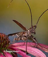 1C38-531z  Male Northeastern Pine Sawyer Beetle taking off, Monochamus notatus