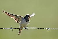 Rauchschwalbe, flügger Jungvogel, Rauch-Schwalbe, Schwalbe, Hirundo rustica, barn swallow, barn-swallow
