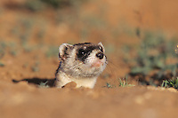 Black-footed Ferret (Mustela nigripes), adult looking out of burrow, Arizona, USA