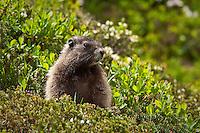 Marmot in Spray Park, Mt. Rainier