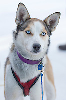 Chandler Wappett dog at the finish line of the 2016 Junior Iditarod in Willow, Alaska, AK  February 28, 2016