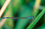 Blue-tailed damselflies, Ischnura elegans
