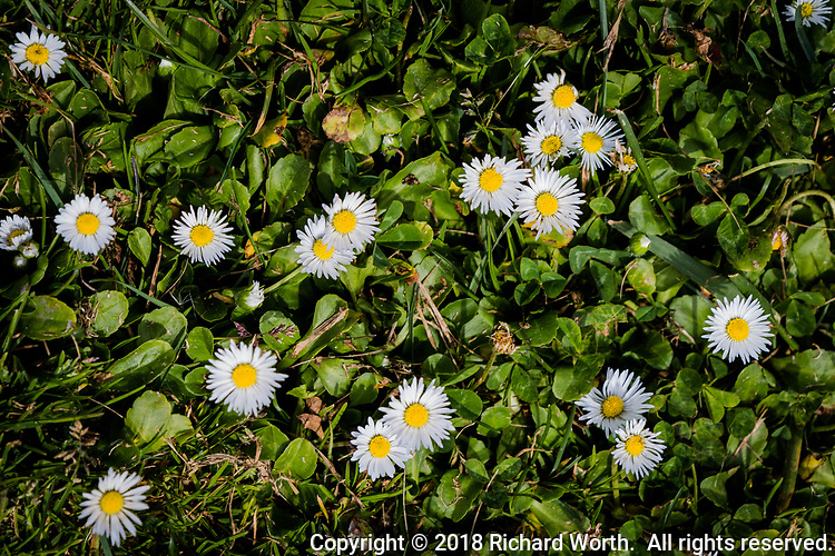 A flurry of tiny white and yellow flowers grace a small patch of grass at a public park.