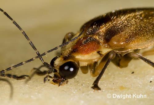 1C24-554z  Firefly Adult - Lightning Bug - eating apple - Photuris spp