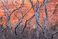 A brilliant sunset on the Kalob Terrace section of Zion National Park provided a bright red back drop for the oak bushes.