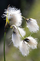 Schmalblättriges Wollgras, Wollgras, Wollgräser, Eriophorum angustifolium, common cottongrass, common cottonsedge, cottongrass, cottonsedge, bog cotton, La Linaigrette à feuilles étroites