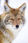 Portrait of adult coyote (Canis latrans). Yellowstone National Park, Wyoming, USA. January.