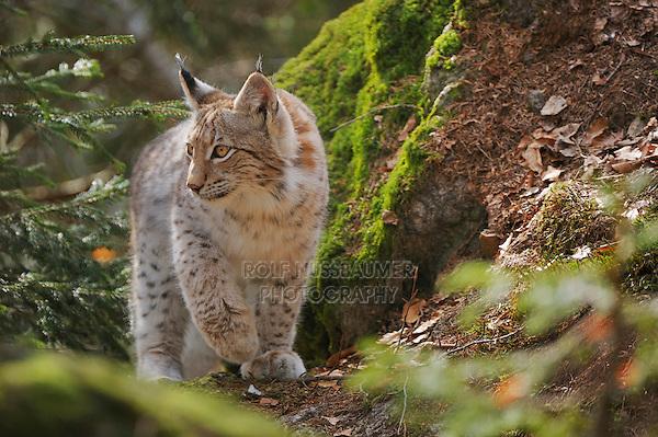 Eurasian Lynx (Lynx lynx), young sitting on rock, Switzerland, Europe