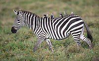 This zebra was providing a taxi service for Wattled starlings.