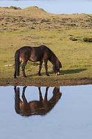 Islandpferd, Isländer, Islandpony, Island-Pferd, Isländer, Island-Pony, Pony, Ponies, Wasserspiegelung, Spiegelung, auf Island, Icelandic horse, Iceland, L'islandais, Islandais