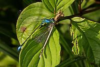 Große Pechlibelle, frisst Kleinlibelle, hat der Beute den Hinterleib abgebissen, Pech-Libelle, Ischnura elegans, common ischnura, blue-tailed damselfly, Common Bluetail, Agrion élégant