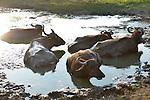 Yala National Park Sri Lanka<br /> Water Buffalo