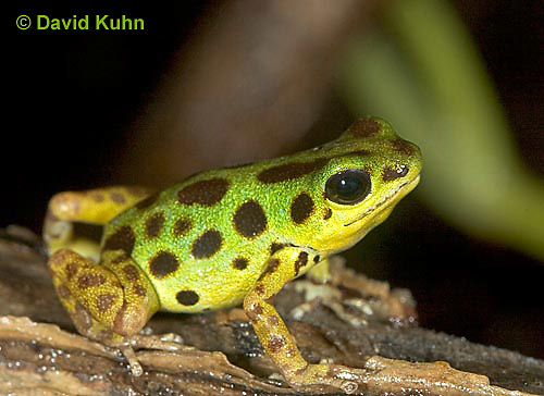1014-07mm  Dendrobates pumilio ñ Strawberry Poison Arrow Frog ñ Strawberry Poison Dart Frog  © David Kuhn/Dwight Kuhn Photography