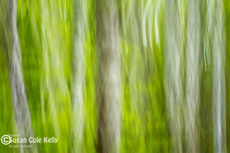 Spring forest in Leonard's Mills, Bradley, Maine, USA