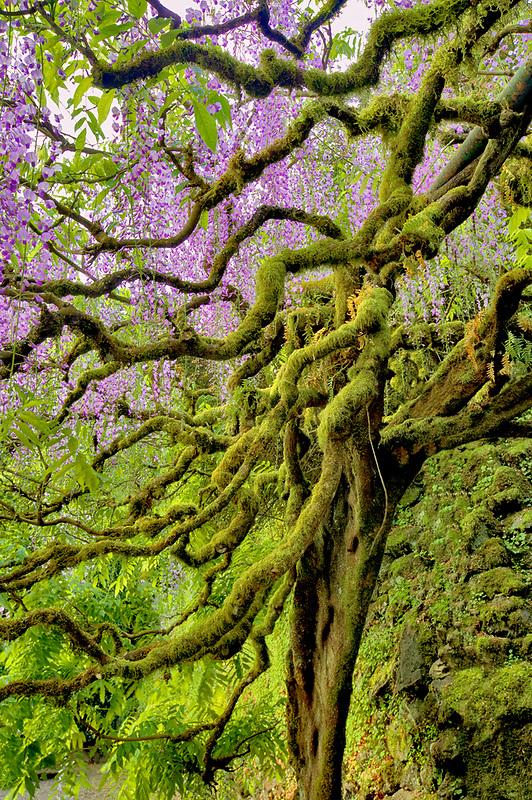 Wisteria (Wisteria floribunda). Bishops Close. Portland. Oregon