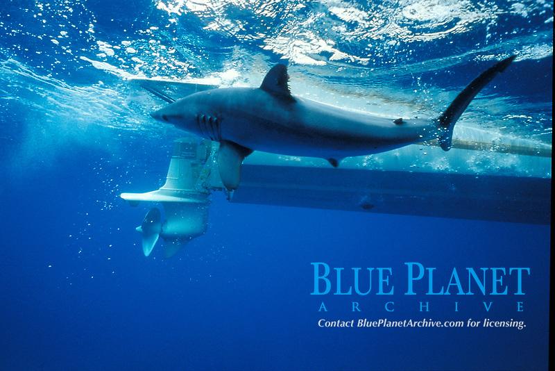 mako shark, Isurus oxyrinchus, hooked during sport fishing, San Diego, California, USA, Pacific Ocean