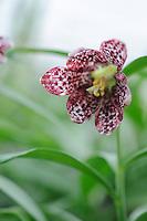 Fritillaria sp.Sinica 'Pink Speckled'