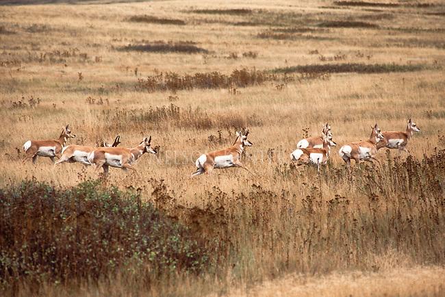 Running Pronghorn Antelope herd in Montana