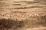 Running Pronghorn Antelope herd in Montana