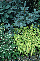 Hosta fortunei 'Francee', Picea pungens & Hakonechloa macra 'Aureola' beautiful garden combination