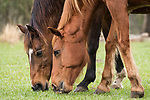 Damon, Texas; a close up, detail view of a pair of brown horses grazing in a pasture on an overcast morning
