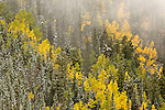 A hillside of snow covered Ponderosa pines (Pinus ponderosa) and aspens (Populus tremuloides) emerges from fog near Escudilla Mountain.