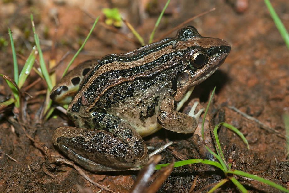 leptodactylus poecilochilus