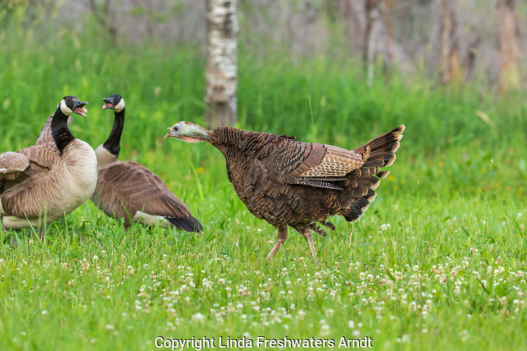 Hen wild turkey fanning her tail in a confrontation with Canada geese.