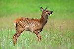 Rocky Mountain Elk calf in mountain meadow