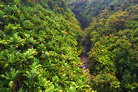 View from a tall bridge: A large gulch forested by palm trees surrounds a river near Honomu on the Hamakua coast of the Big Island.