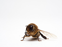 Veritable athletes built for flight, the male bees do not have a stinger and their tongue is very short. Their eyes have 8,000 facets while those of the worker bees have only 5,000. Its olfactory system with antennas longer by one segment is more efficient than that of the females. It has a longer range for the fertilization flight and a reproductive apparatus.<br /> Its abdomen is fatter and more rounded than that of the worker bee. It measures approximately 220mg as opposed to 100mg for a foraging bee. The males carry out several fertilization flights, most often 2 or 3, but they are capable of performing up to 5 in one afternoon. Before taking flight, the males clean their antennas and their eyes, most of the time at the entrance to the, but they also make those flights during the swarming, before a new hive has been found. The drones carry out two distinct fights: one for orientation and one for the fertilization. The orientation flights are short, lasting 1 to 6 minutes (Howell and Usinger, 1933). They help to locate the hive in its environment and also serve as a cleansing flight because the males defecate during it (Howell and Usinger, 1933). The fertilization flights are carried out by the mature males and last longer: 32.56 ± 22.49 minutes (Witherell, 1971).<br /> Véritables athlètes taillés pour le vol, le male d'abeille n'a pas de dard et leur langue est très courte. Ses yeux comportent 8 000 facettes alors que ceux des ouvrières n'en ont que 5 000. Son système olfactif avec des antennes plus longues d'un segment est plus performant que celui des femelles. Il a un rayon d'action plus étendu pour le vol de fécondation et d'un appareil reproducteur.<br /> Son abdomen plus gros et arrondi que celui de l'ouvrière. Il est environ 220mg contre 100mg pour une butineuse. Les mâles effectuent plusieurs vols de fécondation, le plus souvent 2 ou 3, mais ils sont capables d'en effectuer jusqu'à 5 en une après-midi. Avant de prendre leur envol, les mâles nettoi