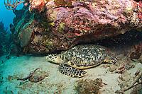 Hawksbill turtle<br /> Calf Rock <br /> U.S. Virgin Islands