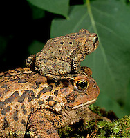 FR11-109z  American Toad - young and adult toads - Anaxyrus americanus, formerly Bufo americanus