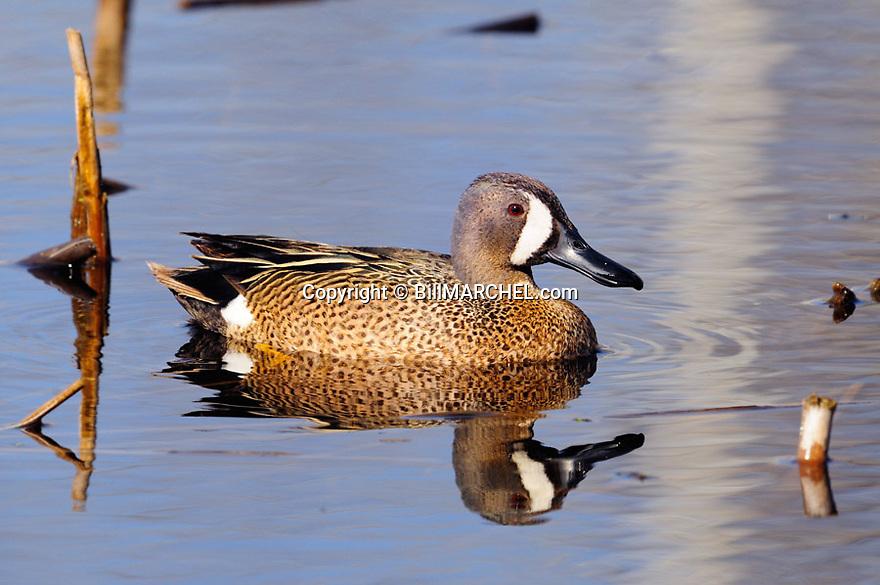 00315-067.07 Blue-winged Teal drake on the water of marsh.    Hunt, waterfowl, wetland, food..