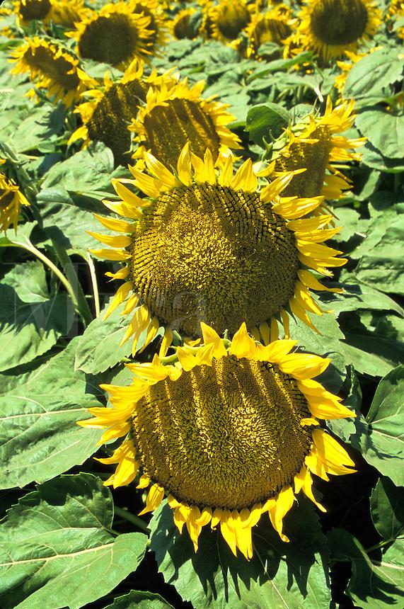 mature sunflower plants Williams California