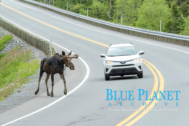 American elk (Alces alces) crosses road, Forillon national park, Quebec, Canada, North America