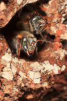 Of the size of a European bee, the Maya bee, melipona beecheii, only leaves a very narrow entrance to its trunk hive to protect itself from attack by predators and rivals.